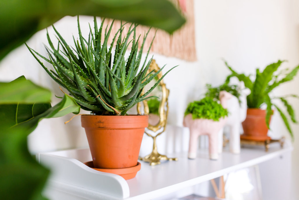 aloe hedgehog plant and anthropologie pots - a great indoor houseplant