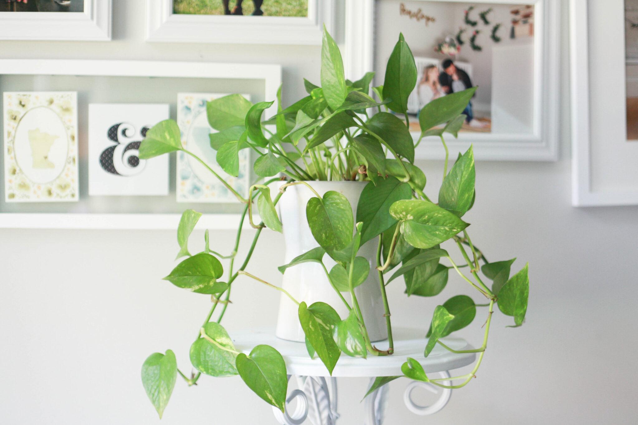 pothos plant care - how to grow and propagate #pothosplant #houseplant