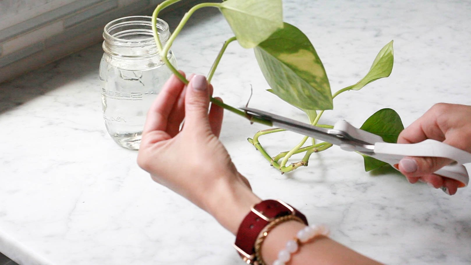 trimming pothos plant stem